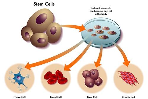Tế bào gốc là gì? 10 Ứng dụng Quan Trọng trong chữa bệnh & làm đẹp 1