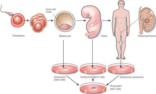 Tế bào gốc là gì? 10 Ứng dụng Quan Trọng trong chữa bệnh & làm đẹp 2